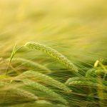 Zielony jęczmień – najskuteczniejszy sposób na odchudzanie?