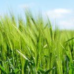 Zielony jęczmień – nie tylko na odchudzanie