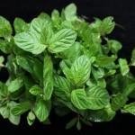 Skuteczne zioła na odchudzanie – mięta, mniszek lekarski oraz inne