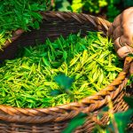 Zielona herbata – czy pomaga w odchudzaniu?