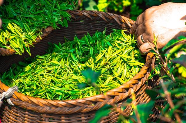 zielona herbata na metabolizm