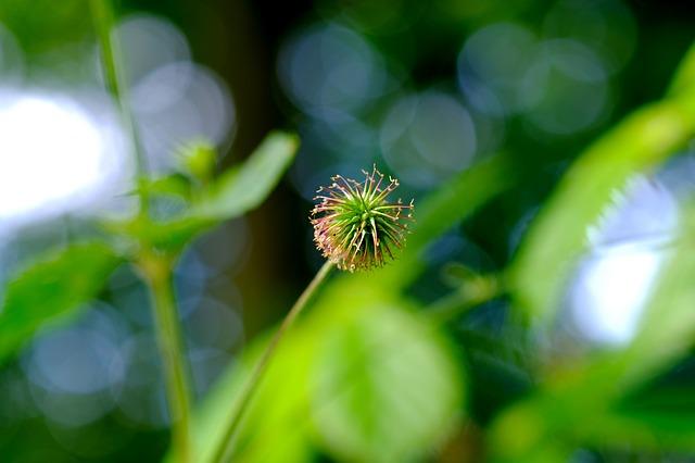 Łopian - zioła na odchudzanie