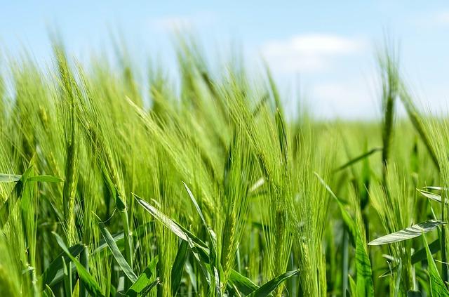 Zielony jęczmień - Green Barley Plus