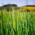 Zielony jęczmień – właściwości, które musi znać