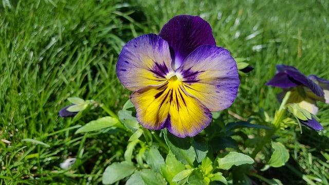 Fiołek trójbarwny - zioło wspomagające detoksykację